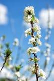 Vit Japan sakura filial mot blå himmel Royaltyfria Bilder