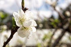Vit Japan sakura filial mot blå himmel Arkivfoton