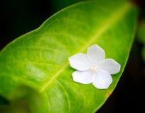Vit jasminblomma på det gröna bladet Royaltyfri Fotografi