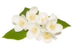 vit jasminblomma på en vit bakgrund Arkivfoton
