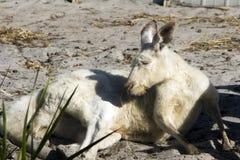 Vit känguru, Albany, WA, Australien fotografering för bildbyråer