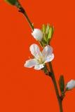 Vit körsbärsröd blomma arkivfoton