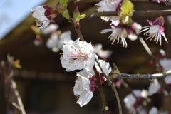 Vit körsbärsröd blomma Royaltyfri Fotografi