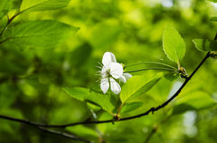 Vit körsbärsröd blomma Royaltyfri Foto