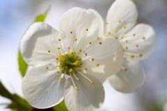 Vit körsbärsröd blommablomning Arkivfoton