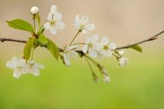 Vit körsbärsröd blomning Royaltyfria Foton