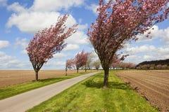 Vit körsbärsröd blomning för rosa färger och Royaltyfri Fotografi