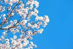 Vit körsbärsröd blomning tre med blå himmel Arkivfoton