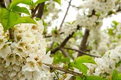 Vit körsbärsröd filialblomning på vårbrisen Arkivfoton