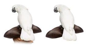 Vit kakadua som isoleras på vit Arkivbild