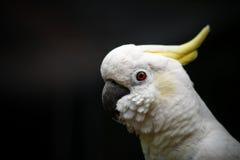 Vit kakadua, Sulphur-krönad kakadua Royaltyfria Bilder