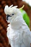 Vit kakadua, ulphur-krönad kakadua (Cacatuagaleritaen) Fotografering för Bildbyråer