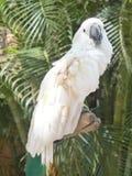 Vit kakaduaframdel Arkivfoton
