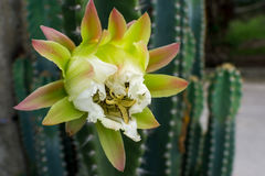 Vit kaktusblomma Arkivbilder