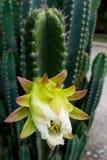 Vit kaktusblomma Royaltyfri Bild