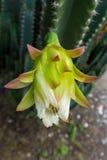 Vit kaktusblomma Royaltyfria Bilder