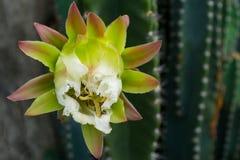 Vit kaktusblomma Arkivfoton