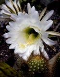 Vit kaktusblomma Arkivfoto