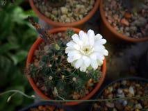 Vit kaktusblomma från bästa sikt fotografering för bildbyråer