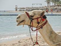 Vit kamel på stranden för gyckel royaltyfria foton