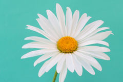 Vit kamomill på frilägegräsplanbakgrund Daisy Flower Arkivbild