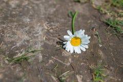 Vit kamomill som ligger på jordningen Fotografering för Bildbyråer