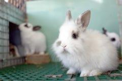 Vit kanin Arkivbild