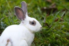 Vit kanin i det gröna gräset Arkivbilder
