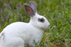 Vit kanin i det gröna gräset Royaltyfri Foto