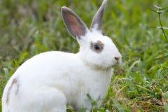 Vit kanin i det gröna gräset Arkivbild
