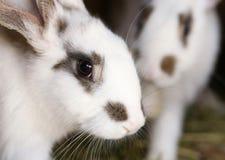 Vit kanin med blaskfläckar. Arkivfoto