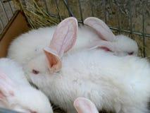 Vit kanin med röda ögon Arkivfoton