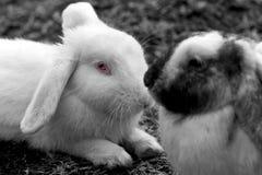 Vit kanin med vännen som kopplas av på fältet fotografering för bildbyråer