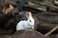 Vit kanin med vaggar Royaltyfria Foton