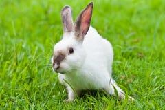 Vit kanin på gräs Arkivfoton