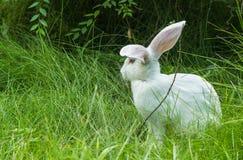 Vit kanin på gräset Arkivfoton