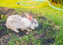 Vit kanin på gräsmatta Royaltyfri Foto