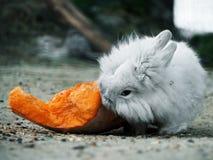 Vit kanin som äter pumpa arkivbild