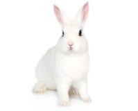 Vit kanin som isoleras på vit arkivfoton