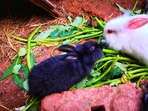 Vit kanin spelar med svart kanin fotografering för bildbyråer