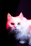 Vit katt Royaltyfri Foto