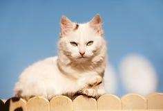 Vit katt Royaltyfria Foton