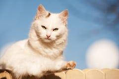 Vit katt Arkivbild