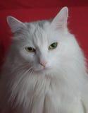 Vit katt Royaltyfri Fotografi