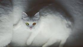 Vit katt Fotografering för Bildbyråer