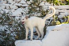 Vit katt av Kythnos royaltyfria bilder