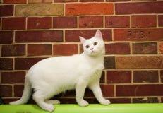 Vit katt bredvid väggen Arkivfoto