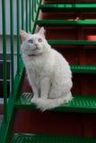 Vit katt för katt- blick med blåa ögon Fotografering för Bildbyråer