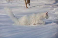 Vit katt för Maine coone i vintern och snön arkivfoton