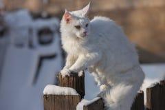 Vit katt för Maine coone i vintern och snön Arkivfoto